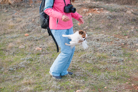 one little chihuahua dog making trick jumping back from owner canine leg outdoors Stok Fotoğraf - 116437929