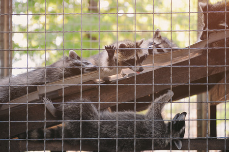 group of funny lazy relaxing racoons behind cage in outdoor zoo Stok Fotoğraf
