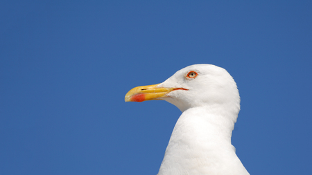 beautiful portrait of white seagull with vivid blue sky as background with copy space Stok Fotoğraf
