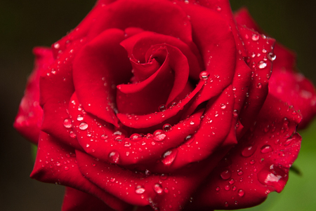 beautiful red rose covered with rain water droplet Stok Fotoğraf - 116435660