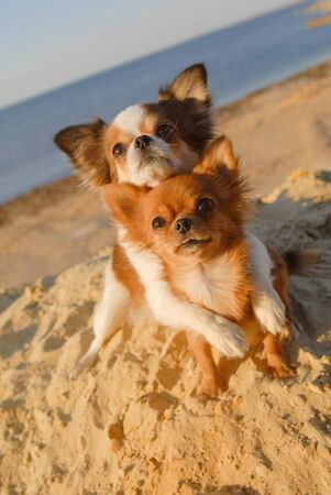 two cute happy chihuahua pet dogs hugging on sand beach in sea summer vacation Stok Fotoğraf