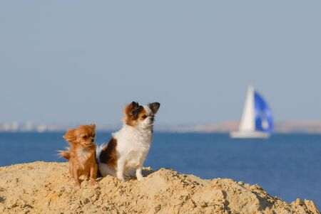 two funny active small dogs chihuahua with wind in their fur standing on sand beach near blue sea with sailing boat and copyspace