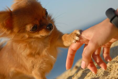 cute little puppy dog of chihuahua touching hand of his owner with paw outdoor leisure activity