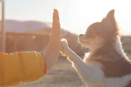 young female owner hand high five to her little chihuahua pet dog with love trust and friendship during outdoor sunset leisure