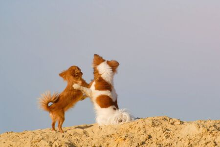 friendship concept of two small dogs chihuahua pets hugging each other standing on sand on blue sky with copyspace background