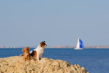 two funny cute chihuahua pets dog sitting on sand dune on summer sea beach with blue sky and sailing yacht on skyline Stok Fotoğraf