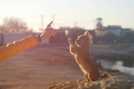 canine pedigree dog training of owner with gesture hand and little dog sitting on sand making tricks