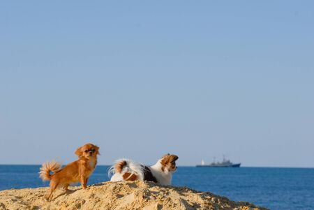 two little chihuahua pet dogs resting on sand dune on summer beach with blue sky and sea with ship on horizon