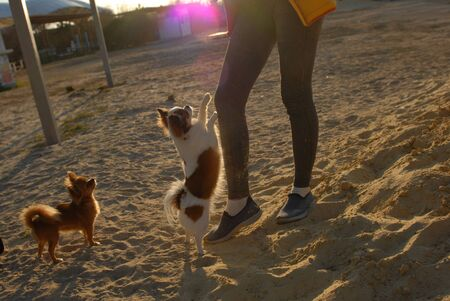 two little dogs chihuahua training on sand beach with their female owner animal trainer in autumn weather Stok Fotoğraf