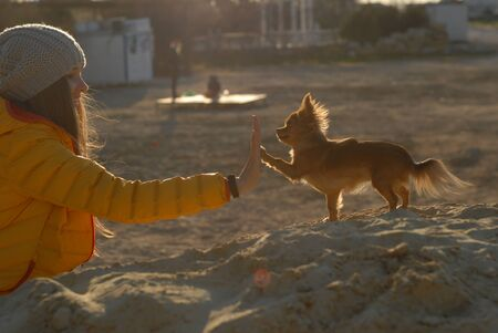 animal and human friendship concept girl owner giving five to paw of her puppy chihuahua dog on sand beach