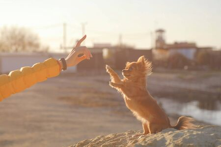 obedience concept of young woman hand with gesture training her little puppy chihuahua pet dog standing on hinder legs 免版税图像