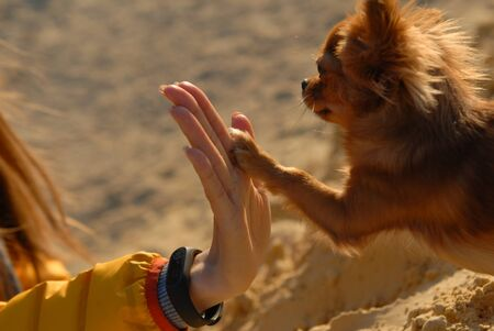 chihuahua giving five paw to hand of female owner outdoor leisure activity