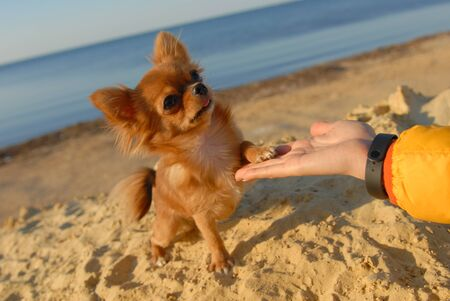 obedient chihuahua puppy little dog giving paw to owner hand on sand beach in autumn sunset Stok Fotoğraf