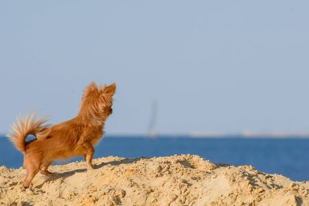 one little chihuahua puppy little curious brown dog prick up ears looking at blue sky and sea standing on summer sand beach with copyspace Stock Photo