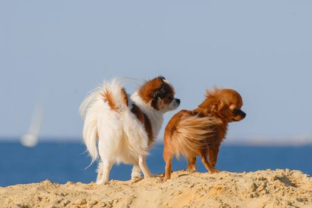 two funny fluffy little chihuahua dogs pets standing together on sea beach with blue sky and sea on background with copy space