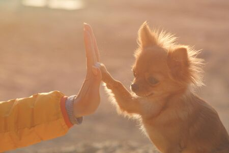high five friendship partner concept young woman owner hand touching little paw of cute small puppy chihuahua dog on warm outdoor sunset Stok Fotoğraf