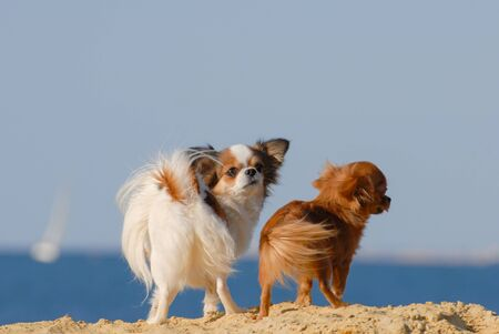 two funny small dogs chihuahua with wind in their fur standing on sand beach near blue sea with copyspace