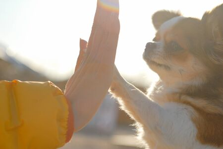 young woman owner hand high five to her little chihuahua pet dog with love trust and care outdoor leisure Stok Fotoğraf