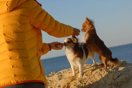 woman owner in yellow autumn jacket feeding two chihuahua little dogs standing on sand beach near blue sea on sunset