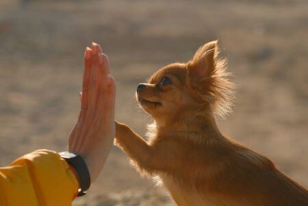 beautiful small chihuahua dog high five paw to owner female hand outdoors