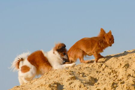 funny moment of life angry little chihuahua dog pursuit and biting another junior dog running outdoor sand beach on blue sky background Stok Fotoğraf