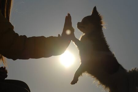 silhouette of active woman hand touching paw of her small chihuahua canine dog