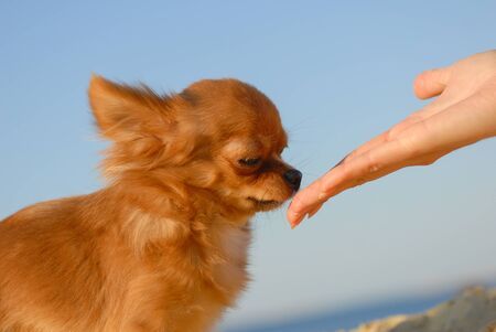 cute small chihuahua dog sniff hand of her owner outdoor leisure Stok Fotoğraf