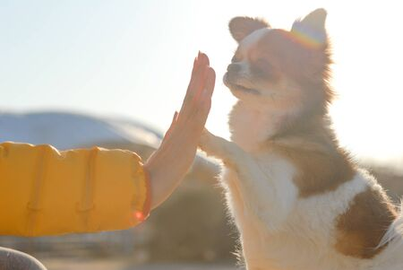 active young woman high give five with her little chihuahua partner dog on autumn sunset Stok Fotoğraf