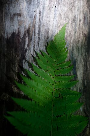 ecology protection concept of green fern leaves lying on dry grey wood of tree trunk lit by sunset light Stok Fotoğraf