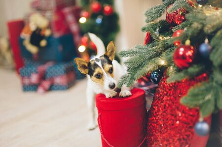 funny curious active jack russell terrier pet animal standing with paws on christmas red box of gift near Xmas tree with toys Stok Fotoğraf