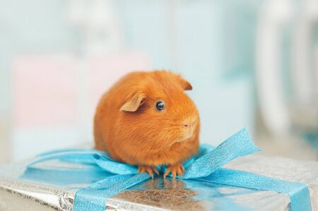 cute funny little pet animal brown guinea pig sitting on christmas gift box on xmas eve with copyspce