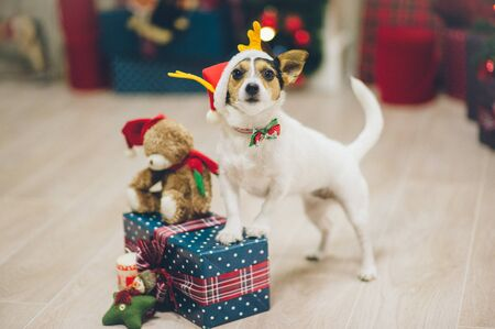 funny active jack russell terrier pet animal in santa hat standing with paws on christmas box of gift with teddy bear on holiday eve Stok Fotoğraf