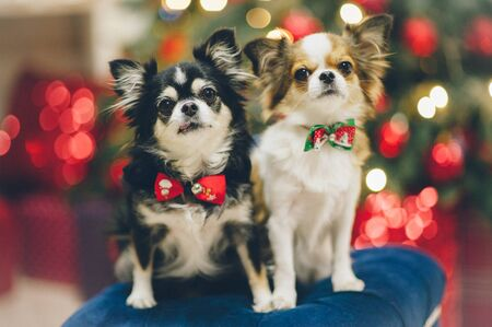 two funny chihuahua pet dogs in bow tie sitting on padded stool on christmas tree with lights and toys in blur background Stok Fotoğraf