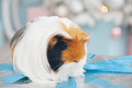 one cute little long hair guinea pig pet animal sitting on silver box with blue tape with christmas tree on background in xmas eve