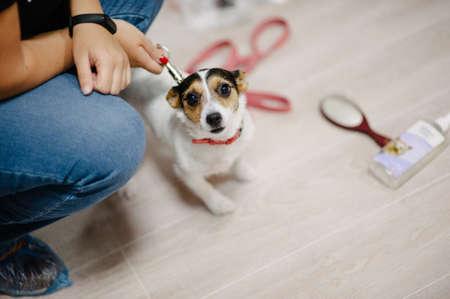 owner keeps jack russell terrier dog on leash indoors veterinary canine Foto de archivo