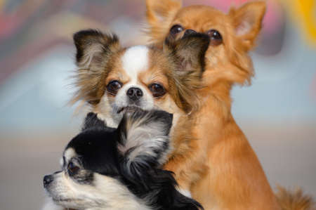 pedigree canine concept of pet family of three cute chihuahua dogs looking in camera