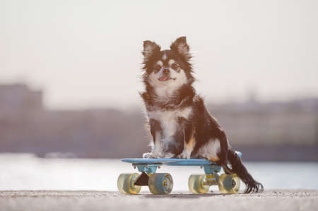 obedience training concept of little pet dog chihuahua sitting on blue skateboard on sea shore in sunset riding