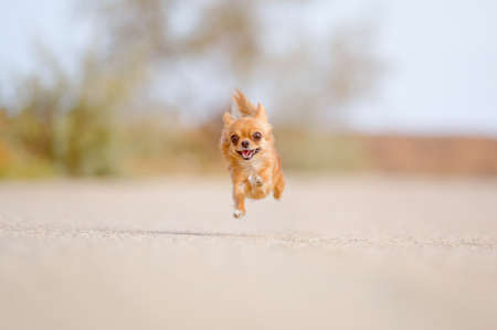 funny little dog chihuahua flying in air during fast running outdoor leisure lifestyle activity with copy space