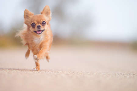 little running active pet sport dog chihuahua running outdoor training leisure with copy space fast