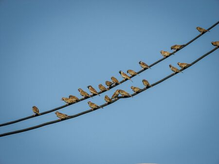 A row of sparrows on a power cord in the city with blue sky background. Sparrow birds stay on line of electric or telephone cable on clear blue sky  at sunny summer day. 版權商用圖片 - 148161958