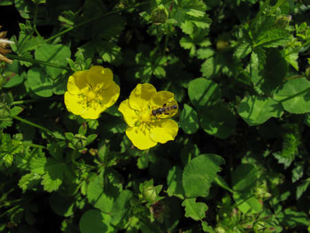 Two yellow wildflower in garden at sunny spring day in Gilan, Iran. Spring flower with an insect on green background. Close up of marsh crowfoot flower, iranian Alaleh or persian alaleh  (Ranunculus asiaticus). Closeup. Stock fotó - 150600626