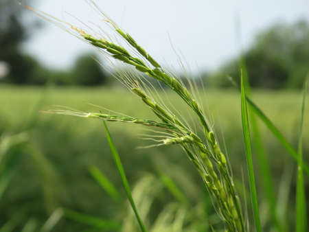 Close-up of growing unripe rice at rice field. Detailed view of the green rice.
