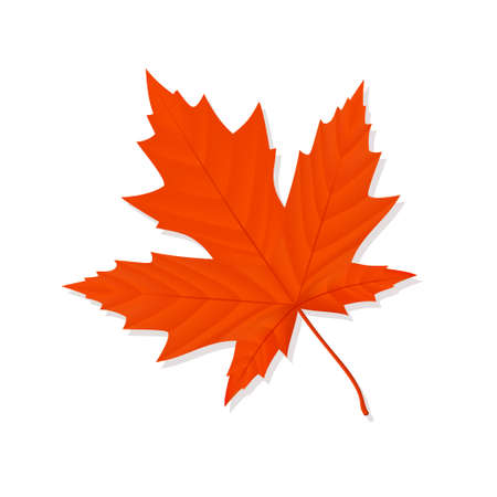 Fallen red maple leaf on a white background. Vector illustration