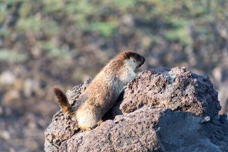 Black-capped marmot (Marmota camtschatica). This type of marmot is biologically similar to the Mongolian marmot - tarbagan (Marmota sibirica). It lives in Eastern, North-Western Siberia and Kamchatka. Stock fotó