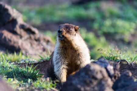 Black-capped marmot (Marmota camtschatica). This type of marmot is biologically similar to the Mongolian marmot - tarbagan (Marmota sibirica). It lives in Eastern, North-Western Siberia and Kamchatka. Foto de archivo