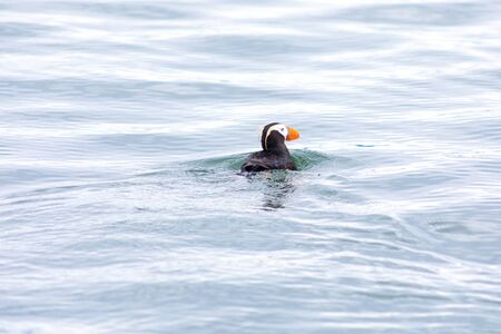 The Hatchet Bird (Fratercula cirrhata) is a seabird of the genus Puffins of the family of anthidae. Banco de Imagens
