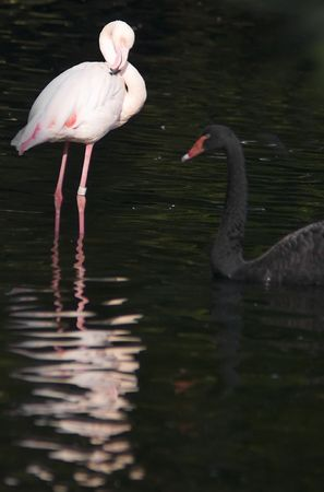 view of a flamingo and a black swan in a lake photo