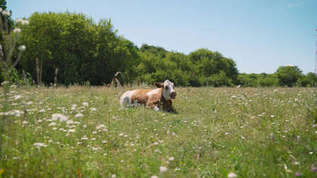 Horned cow lies on the grass meadow. Red cow lies in the meadow in summer.