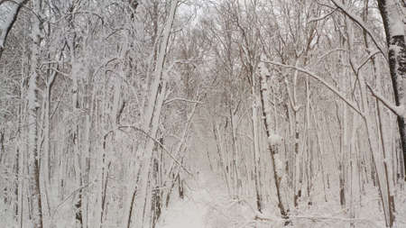 Birch forest in the snow. getting through winter forest trees. Inside there is a winter forest with snow-covered trees. Fairy forest with snow on the trees.