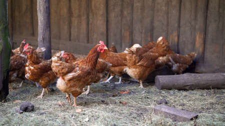 Brown laying hens on the farm in summer.. egg-laying hens in the yard
